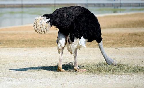 avestruz-cabeca-no-buraco